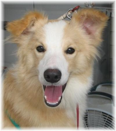 beautiful gold border collie puppy