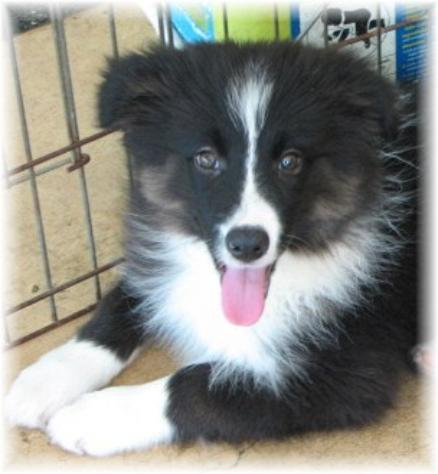 beautiful border collie puppy