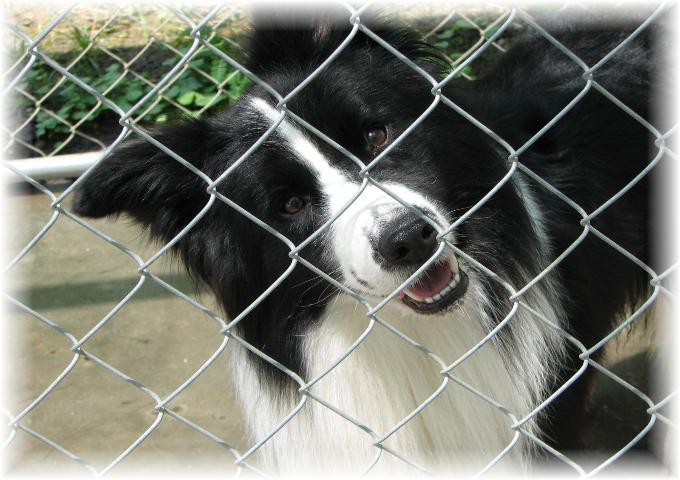 Wilsong's Braeyden- Wilsong Border Collies