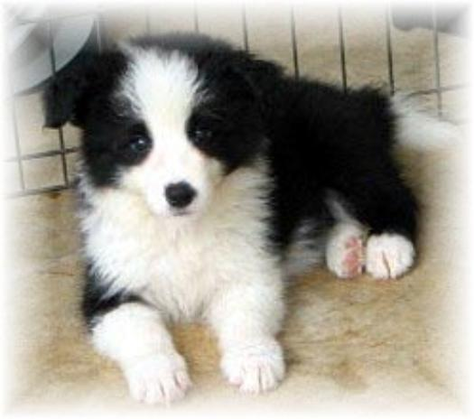 ZigZag Wilsong Border Collie